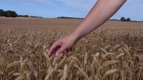 Landbouwers` s hand op het graangewassenoor stock videobeelden