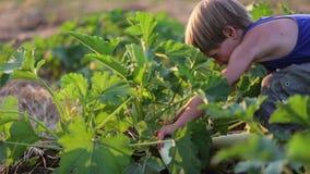 Landbouwers` s kind die oogstend organische pompoen bij gebied van ecolandbouwbedrijf helpen stock footage