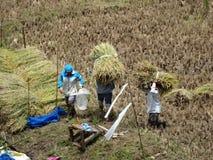 Landbouwers scherpe rijst, Sagada, Luzon, Filippijnen Royalty-vrije Stock Afbeeldingen