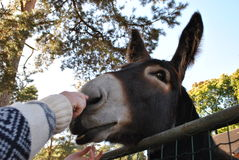Landbouwers voedende ezel Royalty-vrije Stock Foto