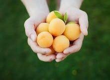 Landbouwershanden die rijpe abrikozen houden stock foto