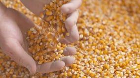 Landbouwershanden die vers geoogste graankorrels tonen Landbouw, graan het oogsten stock footage