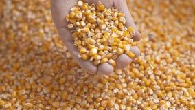 Landbouwershanden die vers geoogste graankorrels tonen Landbouw, graan het oogsten stock videobeelden