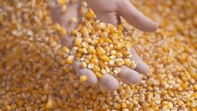 Landbouwershanden die vers geoogste graankorrels tonen Landbouw, graan het oogsten stock video