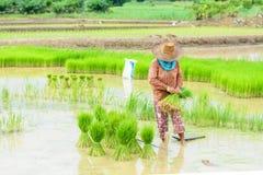 Landbouwerstransplantatie Stock Foto's