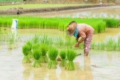 Landbouwerstransplantatie Stock Afbeelding