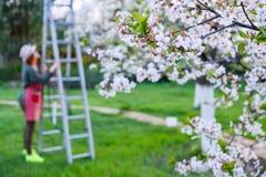 Landbouwersvrouw omhoog op een ladder voor boom van de zorg de bloeiende appel op een mooie de lentedag royalty-vrije stock afbeeldingen