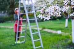 Landbouwersvrouw omhoog op een ladder voor boom van de zorg de bloeiende appel op een mooie de lentedag stock fotografie
