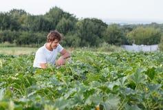 Landbouwerszitting op het courgettegebied bij organisch landbouwbedrijf Stock Afbeeldingen