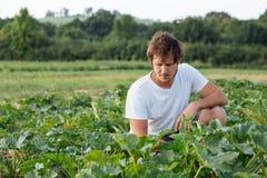 Landbouwerszitting op het courgettegebied bij organisch landbouwbedrijf Royalty-vrije Stock Fotografie