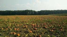 Landbouwgebied het groeien pompoenen Royalty-vrije Stock Afbeeldingen