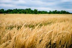 Landbouwgebied met heel wat tarwe Royalty-vrije Stock Foto's