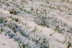 Landbouwgebied van de wintertarwe onder de sneeuw en mistThe de groene rijen van jonge tarwe op het witte gebied Stock Afbeelding