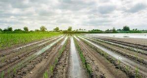 Landbouwgrond die door te overstromen wordt beïnvloed Overstroomd gebied De gevolgen van regen Landbouw en de Landbouw Natuurramp stock fotografie