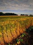 Landbouwgrond met graangewassengewassen royalty-vrije stock foto's