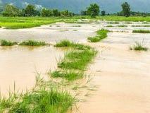 Landbouwpadieveld overstroomde schade stock foto
