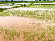 Landbouwpadieveld overstroomde schade stock fotografie