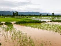 Landbouwpadieveld overstroomde schade stock foto's