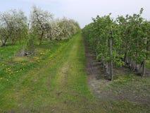 Landbouwweg, rechts van het jonge appelbomen die zich kort voor het bloeien, links van hen bevinden tot bloei komende Cher Royalty-vrije Stock Afbeeldingen