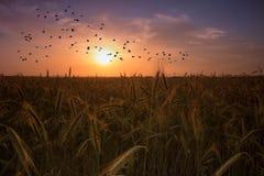 Landbouwzonsondergang met vogels het vliegen Royalty-vrije Stock Foto's