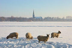 Landcape congelado con cuatro ovejas Imágenes de archivo libres de regalías