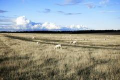 Landcape met schapen Royalty-vrije Stock Fotografie