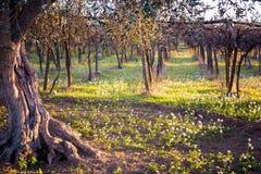 Landcape otoñal italiano con un cierre para arriba de Olive Tree And A imágenes de archivo libres de regalías