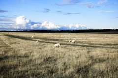 Landcape with sheep Royalty Free Stock Photography