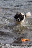 Landeer novo que joga com um brinquedo alaranjado brilhante em um lago Imagem de Stock