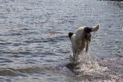 Landeer novo que joga com um brinquedo alaranjado brilhante em um lago Imagens de Stock Royalty Free