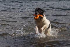 Landeer novo que joga com um brinquedo alaranjado brilhante em um lago Fotografia de Stock