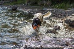 Landeer novo que joga com um brinquedo alaranjado brilhante em um lago Foto de Stock