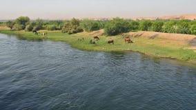 Landelijk gebied door rivier met waterbuffelvee in Afrika stock footage