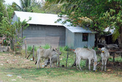 Landelijk huis met golfijzer - koeien - Kambodja royalty-vrije stock foto's