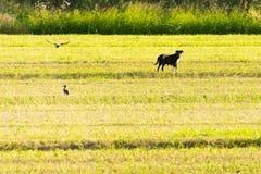 Landelijk huisdier met rond vogels Landbouw de landbouw Royalty-vrije Stock Fotografie