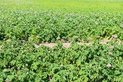 Landelijk landschap. Aardappelgebied Royalty-vrije Stock Foto