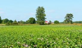 Landelijk landschap. Aardappelgebied Stock Fotografie