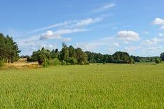 Landelijk landschap. Gebied van tarwe Stock Foto