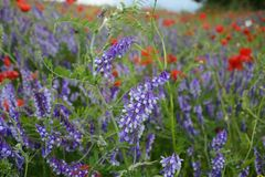 Landelijk landschap - lavendel en rode papavers Royalty-vrije Stock Foto's