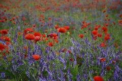 Landelijk landschap - lavendel en rode papavers Royalty-vrije Stock Afbeelding