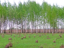 Landelijk landschap met birchwood en mierenheuvels Stock Fotografie