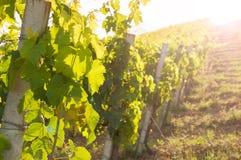 Landelijk landschap met een groene wijngaard onder heuvels royalty-vrije stock afbeelding