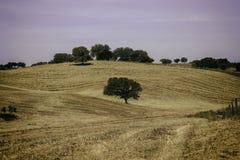 Landelijk landschap met eenzame olijfbomen op een heuvel Stock Foto
