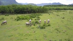Landelijk landschap met het weiden van buffels op weilandbovenleer stock footage