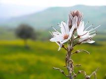 Landelijk landschap met witte bloemen Stock Afbeelding