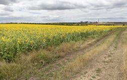 Landelijk landschap van lege weg dichtbij zonnebloemgebied bij de zomerdag Stock Afbeelding