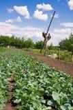 Landelijk tuinbed van kool goed onder blauwe hemel Royalty-vrije Stock Foto's