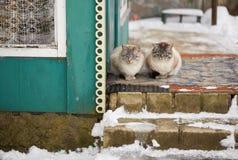 Landelijke binnenlandse katten de winter groot portret op de straat Stock Fotografie