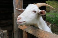 Landelijke geit op landbouwbedrijf stock fotografie