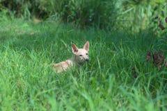 Landelijke hond Royalty-vrije Stock Afbeelding